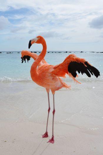 Renaissance Private Island, Aruba Caribbean Caribbean Sea Aruba Aruba♥ Aruba One Happy Island Lovely Renaissance Private Beach, Flamingos Renaissance Private Island Beachphotography Beach Photography Flamingo Bird Water Full Length Sea Beach Pink Color Animal Themes Sky Freshwater Bird Water Bird