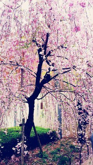 とある桜の日 2016 桜の通り抜け In造幣局