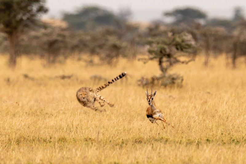 Cheetah chasing gazelle on field