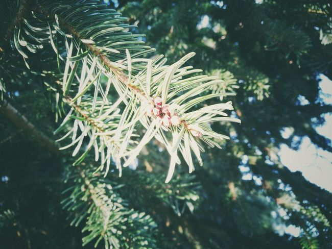 Pine Tree Nature Pinaceae Plant Close-up Outdoors No People Winter Needle - Plant Part Cold Temperature Growth Beauty In Nature Coniferous Tree Day Pine Cone Leica Lens Vendée France🇫🇷 Huawai P9