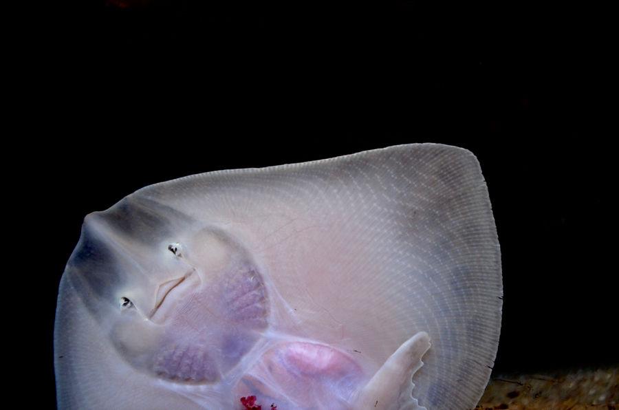 Aquarium Black Background Close-up Devilfish Face Fish Nature No People One Animal Sea Life Skin Studio Shot Underwater EyeEmNewHere