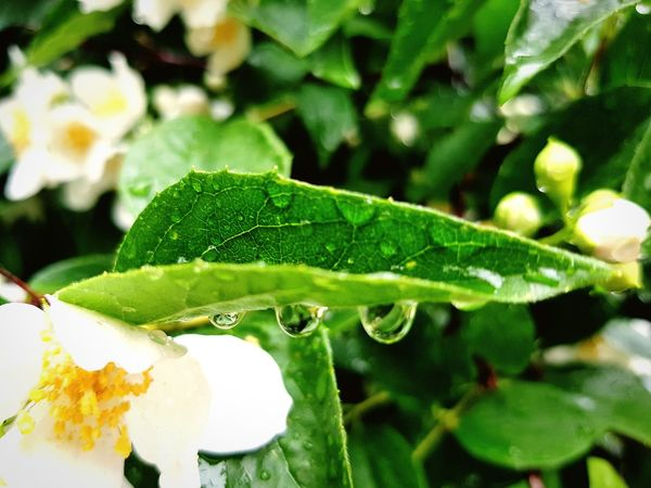 Green Color Leaf Nature Close-up No People Plant Drop Growth Freshness Day Water Outdoors Beauty In Nature Flower Fragility Freshness Beauty In Nature Rainy Day Raindrops On Flowers Raindrops