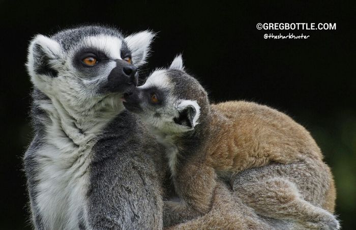 Lemur mum and baby, they are sweet little critters. This was taken last year. Animals Wildlife Wingham Wildlife Park