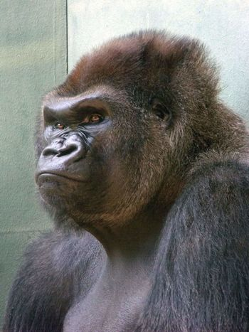 Gorilla Ape Portrait Close-up