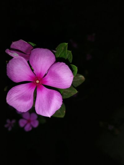 Beauty In Nature Black Background Blooming Close-up Flower Flower Head Focus On Foreground Fragility Freshness Growth Nature Night No People Outdoors Periwinkle Petal Pink Color Plant