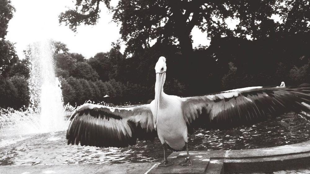 Berlin SNAPSHOTS Pelican EyeEm Birds Birds Pelicans Monochrome Blackandwhite Animals (C) Alexander Eger Zoology Zoo Animals