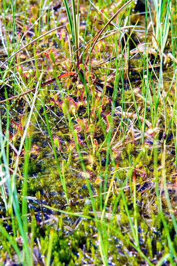 An example of alkaline fens habitat with spoonleaf sundew (Drosera intermedia). Drosera Intermedia Slovenia ❤ Alkaline Fen Beauty In Nature Carnivorous Close-up Field Fragility Freshness Grass Green Color Groundwater Nature Outdoors Plant Selective Focus Spoonleaf Spoonleaf Sundew Sundew Tranquility