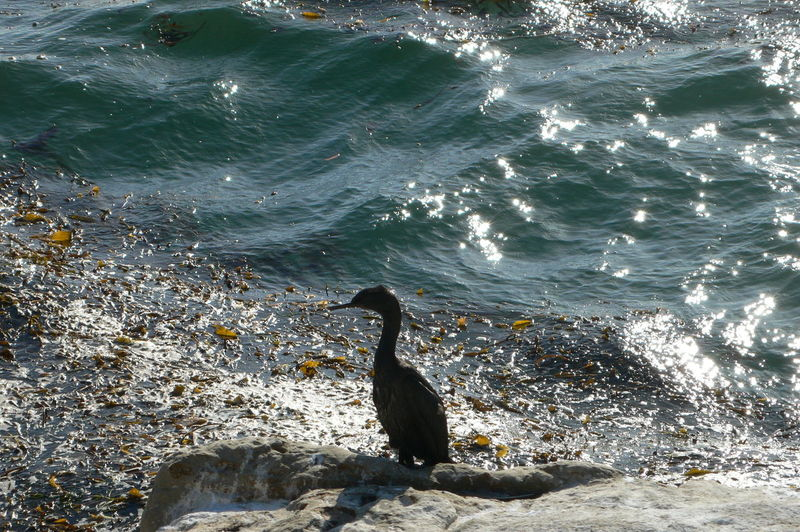 #animalsilhuette #birdsilhuette #californiacoast #coastline #heron #heronsilhuette #silhuette Animal Themes Beauty In Nature Day Elevated View Nature No People Outdoors Rippled Rock - Object Tranquility Water