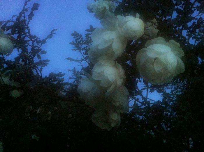 Midnight roses Flowers Roses In My Garden Summer Nights