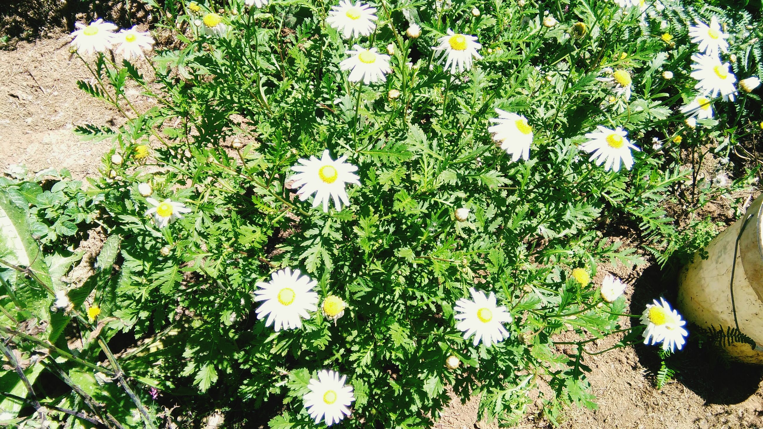 flower, growth, freshness, fragility, plant, white color, high angle view, petal, daisy, beauty in nature, flower head, nature, blooming, field, leaf, green color, grass, in bloom, day, outdoors