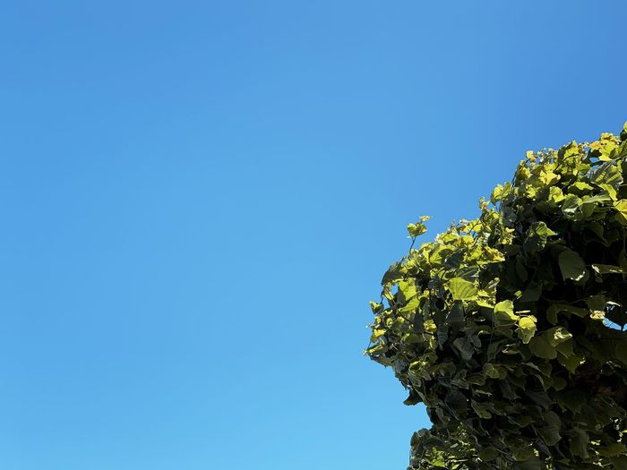Low angle view of plants against clear blue sky