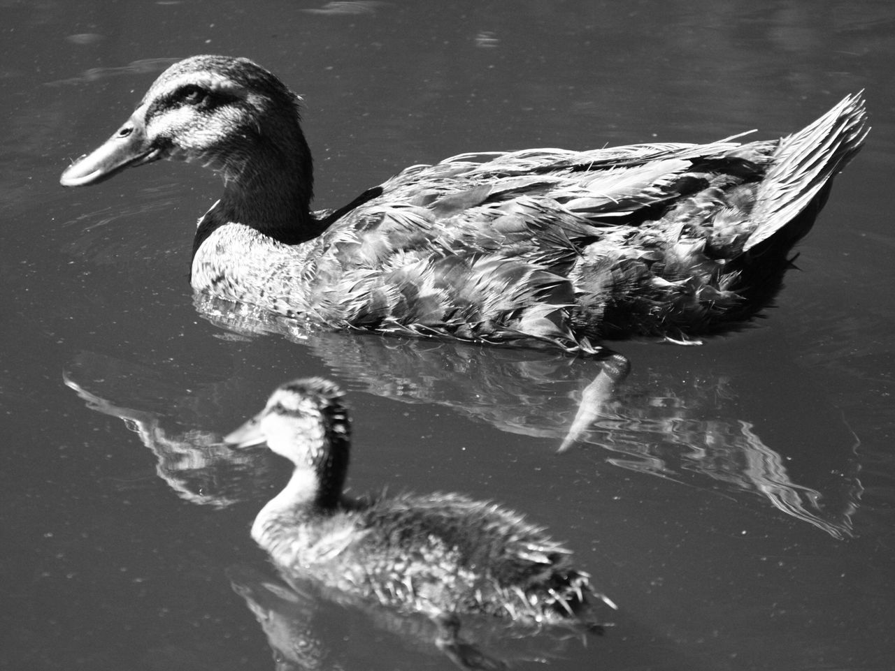 animal themes, bird, lake, water, animals in the wild, swimming, waterfront, one animal, duck, no people, day, water bird, outdoors, nature, close-up