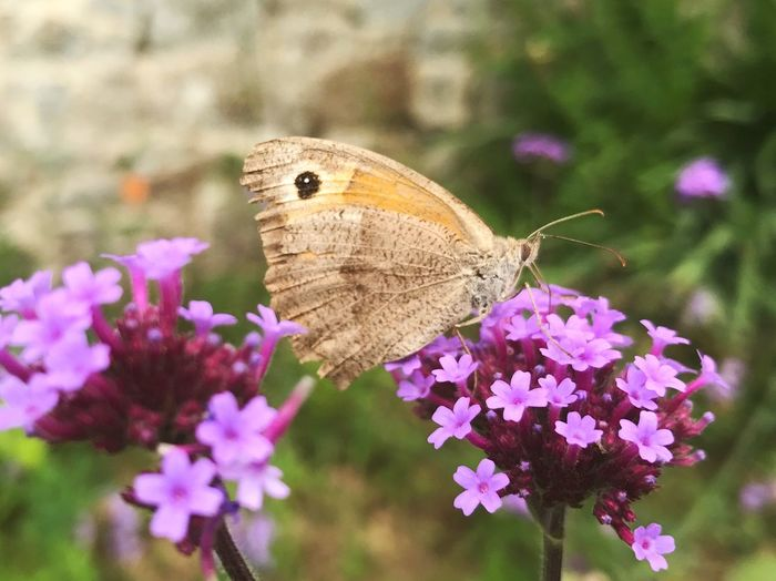 Flower Flowering Plant Insect Invertebrate Animal Themes Animal Wildlife Animal Animals In The Wild One Animal Plant Beauty In Nature Butterfly - Insect Animal Wing Petal Focus On Foreground Close-up