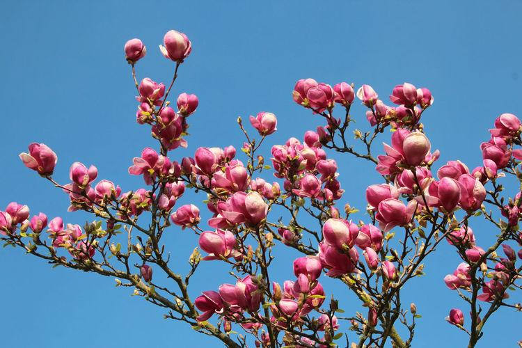 The Magnolia is