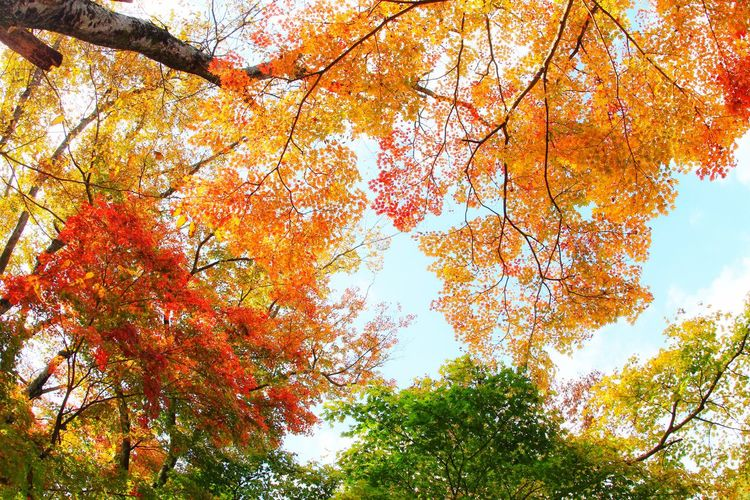 Beautyinnature  Beautifulnature South Korea Autumncolors Tree Branch Leaf Autumn Forest Change Sky Leaves Colored Treetop Maple Leaf Maple Tree Upward View Maple Autumn Collection Fallen Leaf