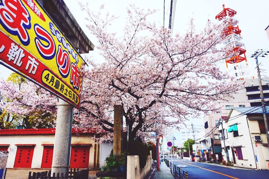 Tree Built Structure Architecture Building Exterior Outdoors Day Sky Road Branch Communication Low Angle View City Flower Nature No People Sakura Blossom Cerryblossom