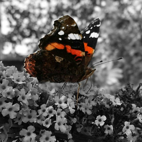 Butterfly Insects  Atalanta Photoart Art Insect Photography Blackandwhiteandcolor Colorlover EyeEm Nature Lover Naturewhisperers