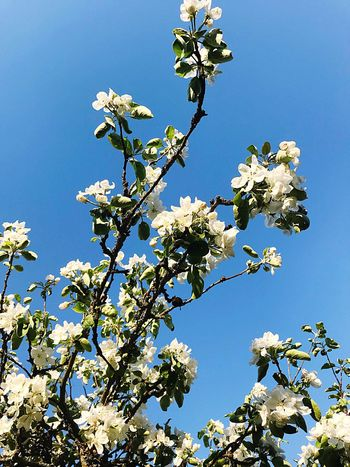 Apple Tree Apple Blossom Low Angle View Growth Beauty In Nature Sky Flower Clear Sky No People Tree Blue Sunlight Blossom