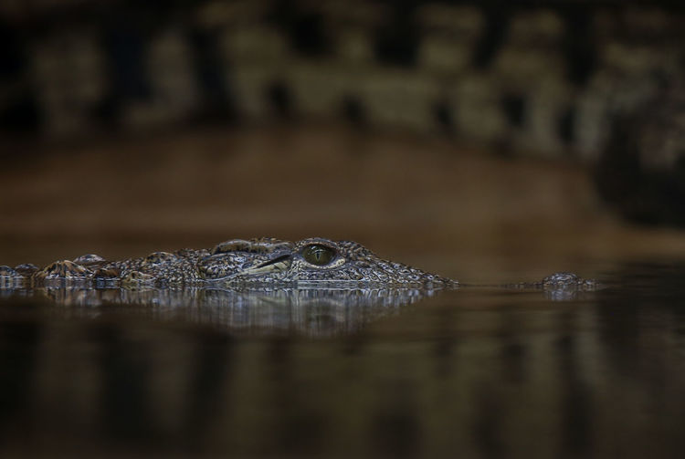 No People Animal Wildlife Wet Living Organism Natgeowild Natgeo Beauty In Nature Wildlife Wild Nature Water Crocodile Eye Close Up Nile Crocodile Reptile Swimming Water