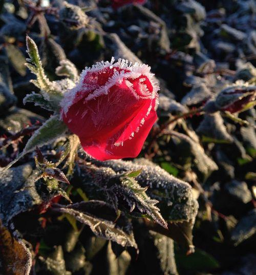 Flowerporn Frost ColdLove