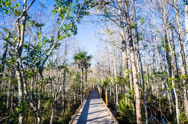 Boardwalk in the swamp Autumn Brisk Exercising Late Afternoon Nature New Years Resolutions 2016 Path Pure Swamp Tree Wetland Winter Boardwalk Boardwalks Cypress Trees  Experience Florida Journey Pathway Pine Tree Wilderness Wooden