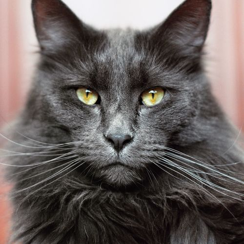 Looking At Camera Pets Cat Portrait Domestic Mammal Feline Domestic Cat Close-up Vertebrate One Animal Whisker Domestic Animals Indoors  People Focus On Foreground Animal Body Part Front View Animal Eye Yellow Eyes