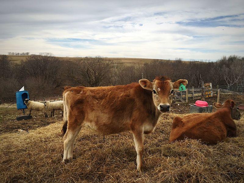 Cows Cow Sheep🐑 Sheeps Sheep Farm Farm Life Farmanimals Farm Animals Farm Animal