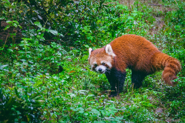 Red Panda Amidst Plants On Field