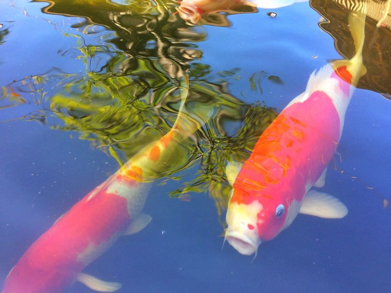 fancy carp fish in pool Animal Garden Nature Water Pool Colorful Colors Color Carp Carp Fish Fancy Carp Fish Fancy Carp Fancy Fish Water Sea Life Swimming Underwater Animals In The Wild Animal Themes Carp Nature Outdoors Day