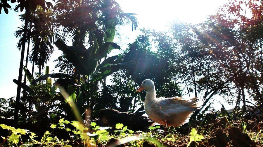 As the sun rises... Taking Photos India ASIA Digboi Assam Ducks Sunlight EyeEm Birds Birds EyeEm Nature Lover