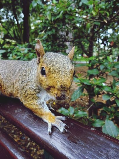 Feed me! :) One Animal Animal Wildlife Animals In The Wild Squirrel Day Mammal No People Outdoors Close-up Love Nature🌲 Animal Face Squirrels Of The City Close Up Beauty In Ordinary Things Beauty In Nature