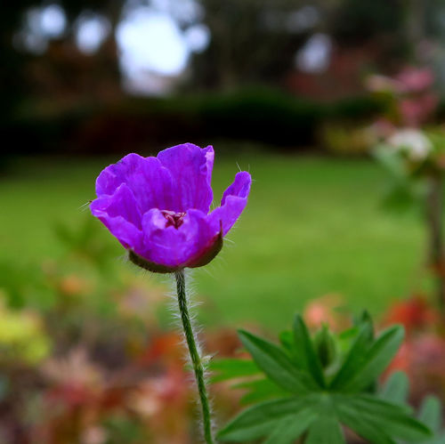 Beauty In Nature Blooming Close-up Day Flower Flower Head Fragility Freshness Growth Nature No People Outdoors Petal Plant Purple Storchschnabel