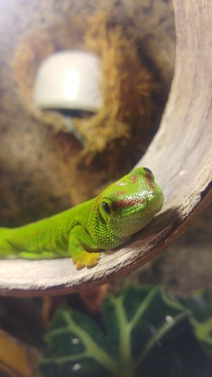 One Animal Green Color Animal Themes Reptile Close-up No People Day Terraristik Terrarium Terrariums Terrarium🍀 Gecko Madagascar Gecko