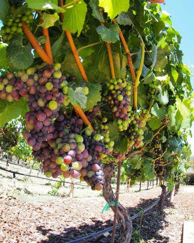 Plants growing in a vineyard