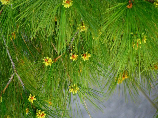 pine needles Flowers Yellow Flowers Green And Yellow  Yellow Pine Pine Tree Pine Needles Tree Pine Flower Blossom Blooming Green Spring Springtime
