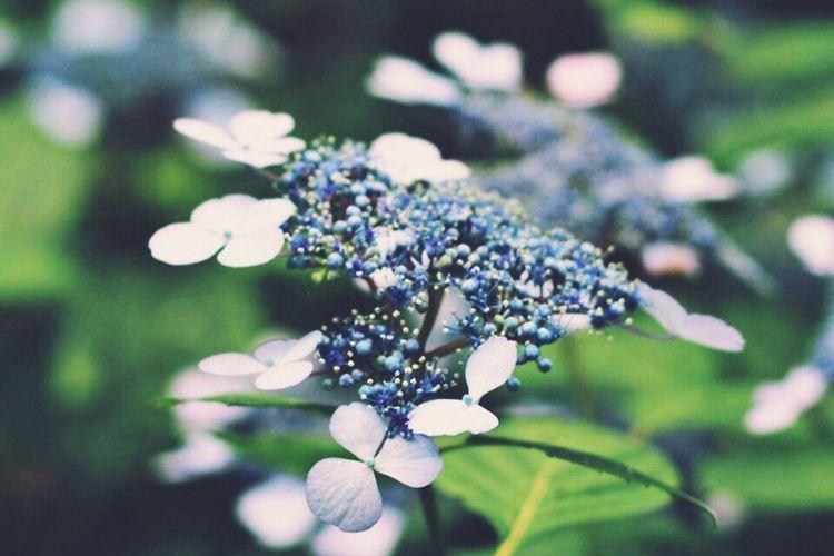 ポツポツ雨が降ってきたときの紫陽花 静寂 Purple Beautiful Nature Flower Ajisai Japan