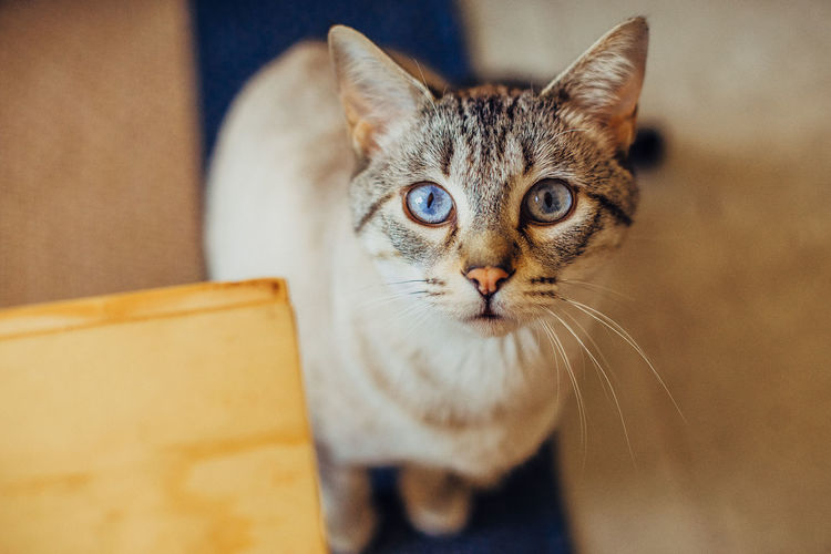 Blue Eyes Animal Friends Close-up Curious Domestic Cat Feline Indoors  Looking At Camera Mammal One Animal Pets Sweet Look Whisker Cat