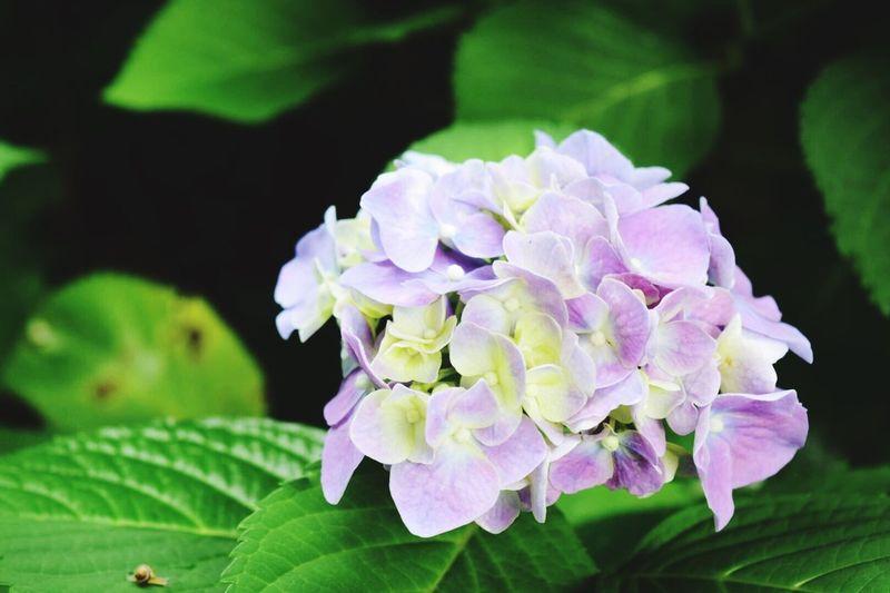 カタツムリ 紫陽花 Flower Beauty In Nature Plant Flower Head Close-up Okayama No People