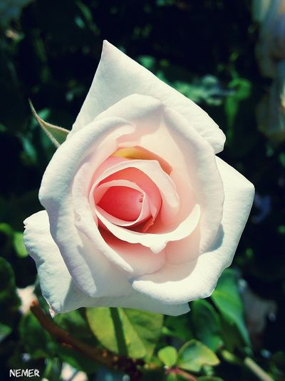 Flower Beautiful Sunrise Light And Shadow Spring Spring Flowers Jordan Amman First Eyeem Photo Flowers,Plants & Garden Green Nature Love ♥ Eyem Nature Rose🌹 Roses Love EyeEmBestPics EyeEm Best Edits White And Pink Flower Red Light White White Roses Pink Pink Color Macro