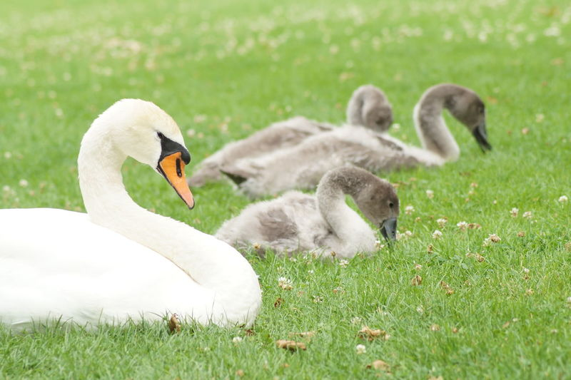 swan family Animal Animal Themes Field Grass Nature Outdoors Swan Swan Family Swans