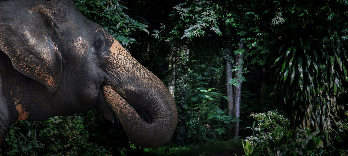 Head of elephant in jungle. elephant mammal wildlife go to asian forest nature