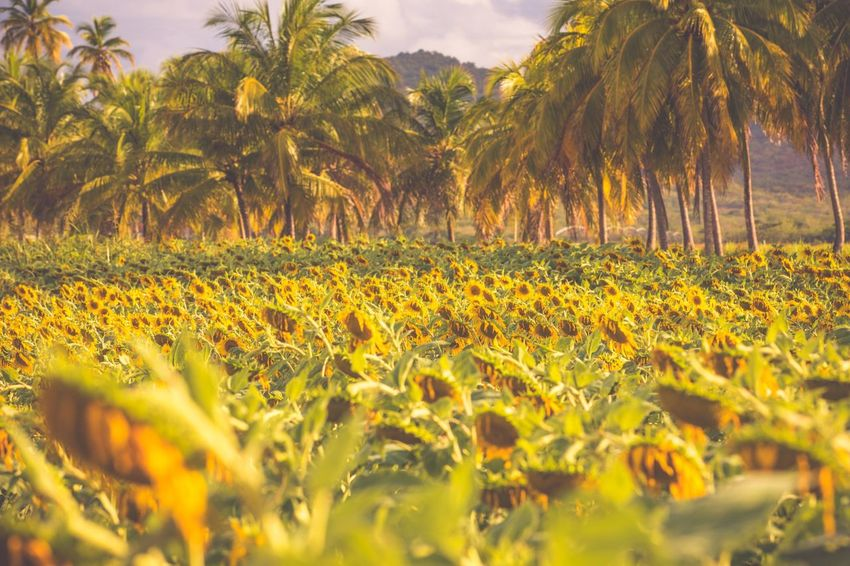 EyeEm Selects Nature Growth Beauty In Nature Plant Tree Yellow Tranquil Scene Tranquility Field Day Scenics Outdoors No People Landscape Palm Tree Leaf Flower Grass Close-up Sky