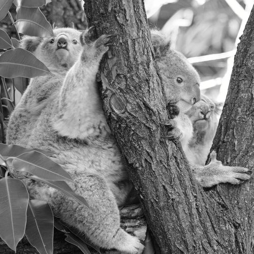 Day Nature Animal Wildlife Animal Themes Animals In The Wild No People Close-up Outdoors Koala Bear Koala Koalas Koala In Tree Koala Bears Koala On A Tree Koalababy Duisburg Zoo Duisburg