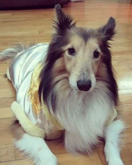 Miss u so much, Forever the Good boy in my heart! ❤ Sweetheart Sheltie Love Family Theonlyfirstone