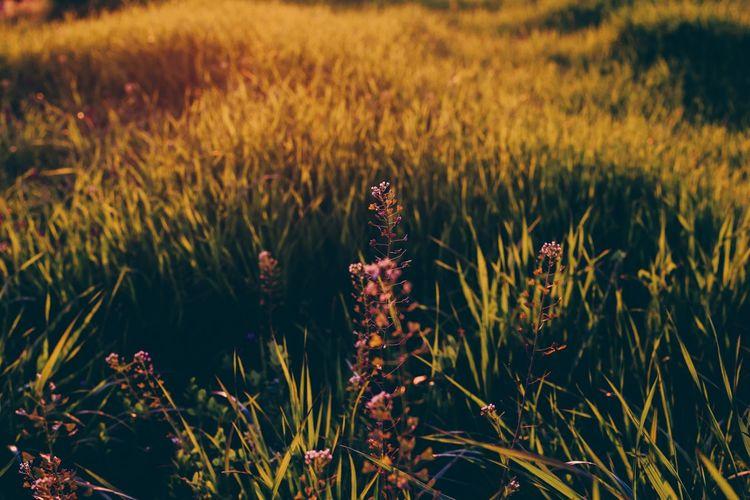 Purple flowers blooming on grassy field
