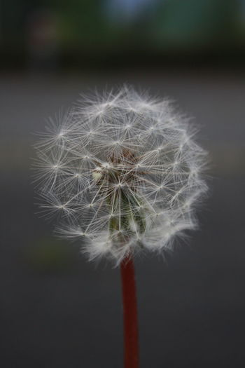 Beauty In Nature Close-up Dandelion Day EyeEm Gallery EyeEm Nature Lover Flower Flower Head Focus On Foreground Fragility Freshness Growth Hope Nature No People Outdoors Softness White Color