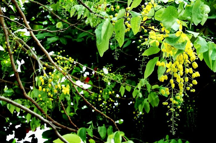 Cassia fistula Leaf Nature Green Color Growth Tree Outdoors Day Beauty In Nature No People Freshness yellow Flower Branch Plant Fruit Close-up Fragility