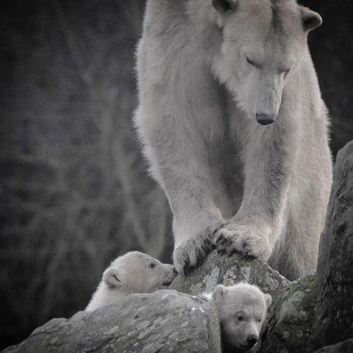 Polar bear with cubs on rock