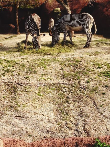 Beautiful zebra at the zoo Relaxing Enjoying Life Hello World The Place I'm Now Taking Photos