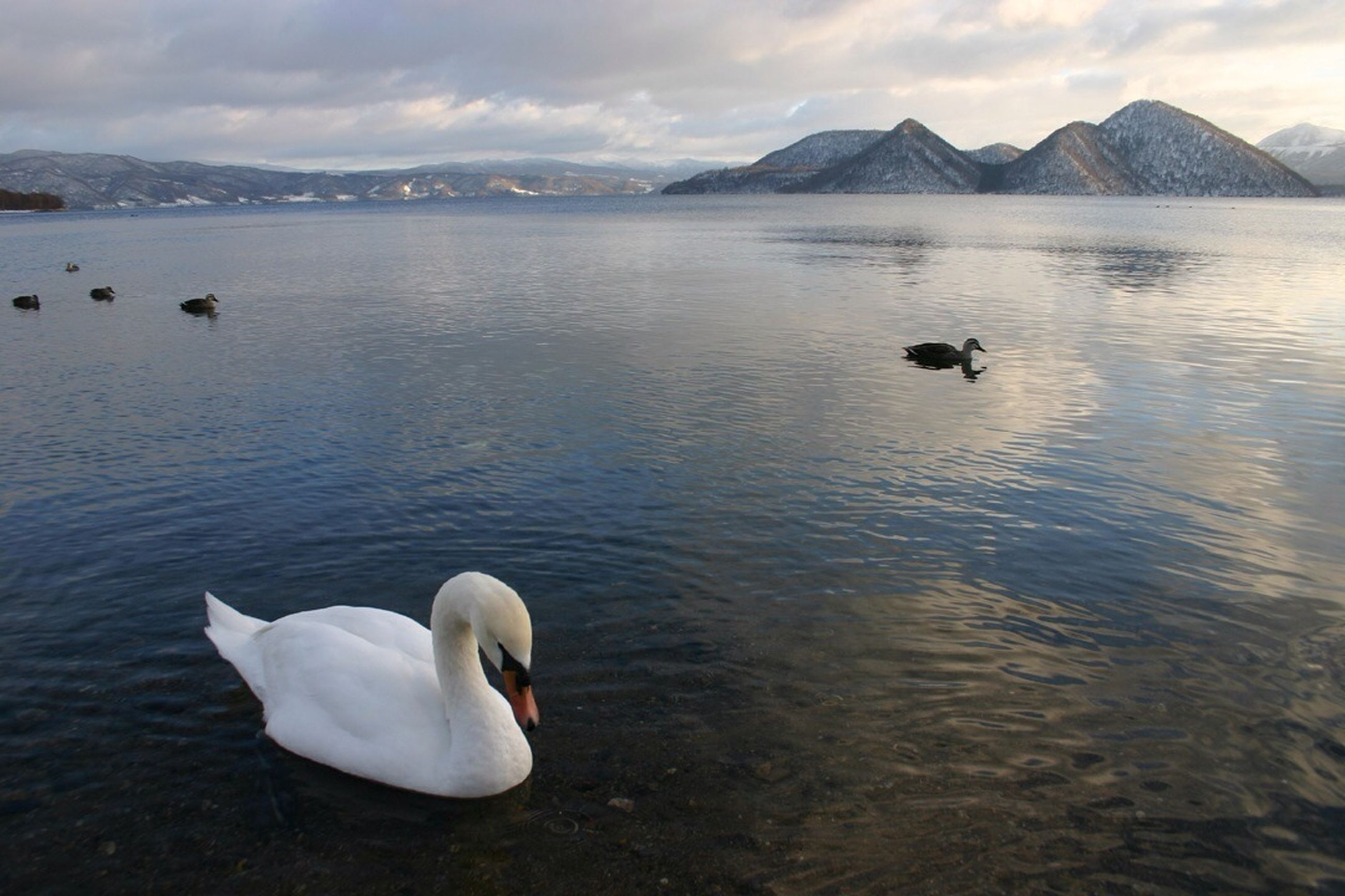 bird, water, swan, animal themes, lake, wildlife, animals in the wild, swimming, mountain, rippled, waterfront, water bird, reflection, tranquility, tranquil scene, nature, beauty in nature, sky, white color, mountain range
